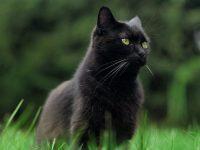 Superstitions autour des chats